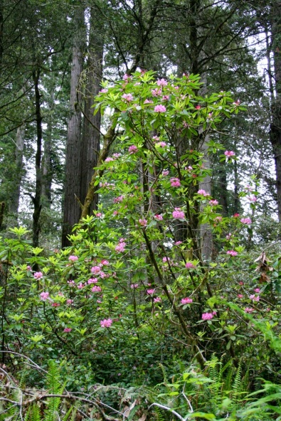 Rhododendrons in the understory