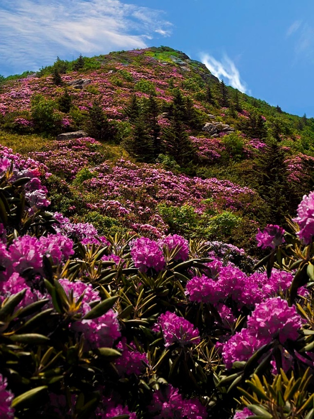 Catawba rhododendrons near Grassy Ridge (photo taken by the husband of my wife's cousin)