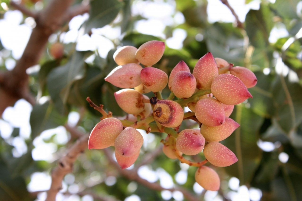 Pink when immature, pistachios turn green as they ripen