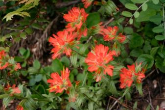 Harsh paintbrush (Castilleja hispida)