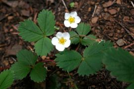 Woodland strawberry (Fragaria vesca)