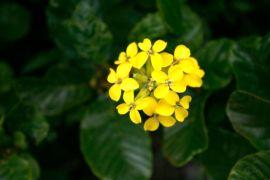Western wallflower (Erysimum capitatum)