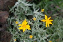 Longleaf arnica (Arnica longifolia)