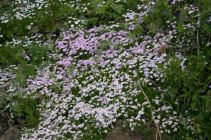 A field of phlox