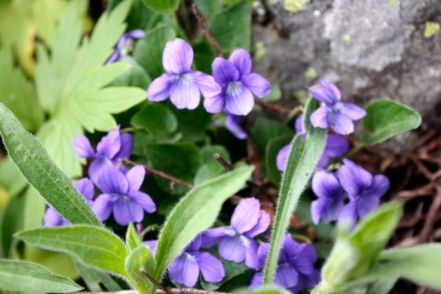 Early blue violet (viola adunca)