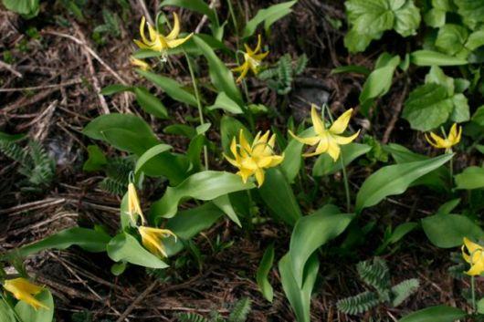 Glacier lily (erythronium grandiflorum)