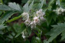 Fendler's waterleaf (hydrophyllum fendleri)