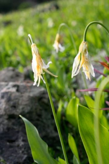 Oregon fawn lily (erythronium oregonum)