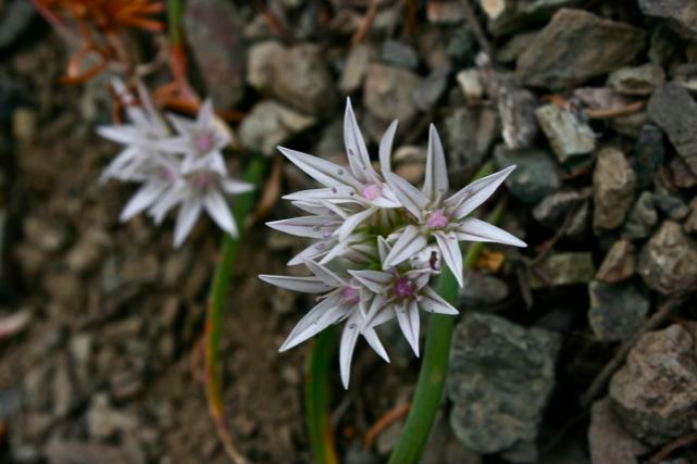 Olympic onion (allium crenulatum)
