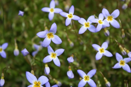 Quaker ladies (bluets)