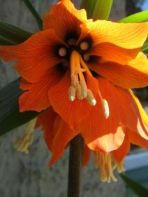 crown imperial frittilaria