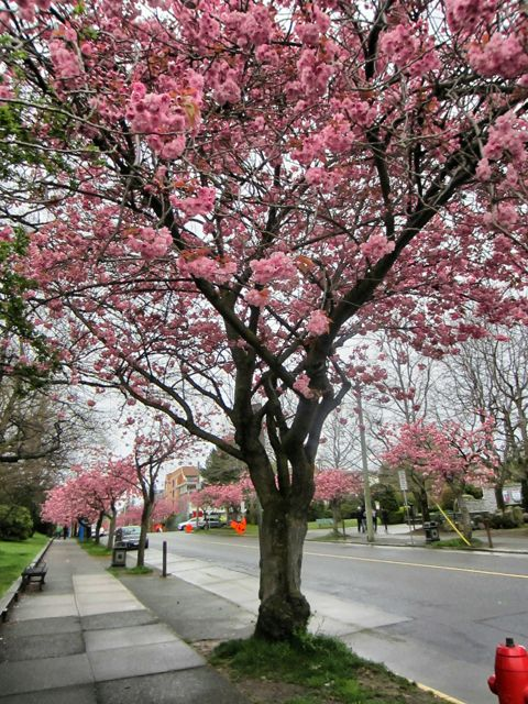 Menzies Street lined with cherry trees