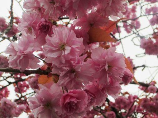 Blossoming Mt. Fuji cherry tree