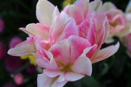 pink double tulip