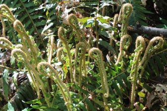 Unraveling fiddleheads of sword ferns