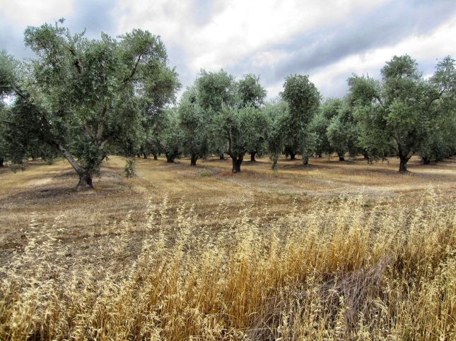 Olive orchard along Road