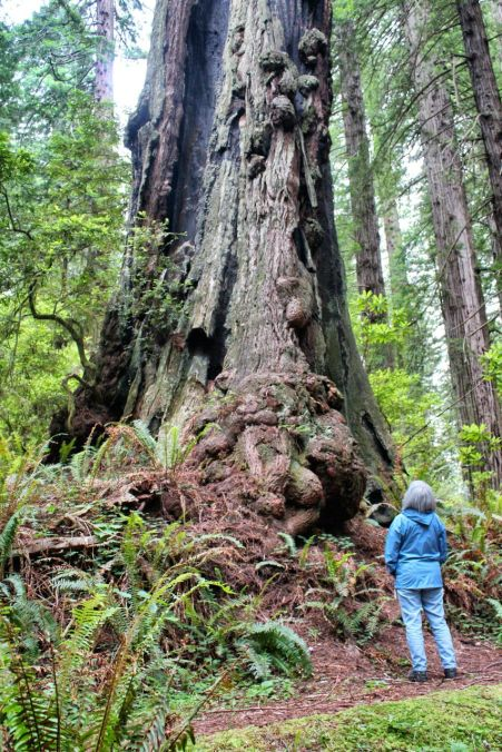 Old growth redwood, Damnation Creek Trail, Del Norte State Park