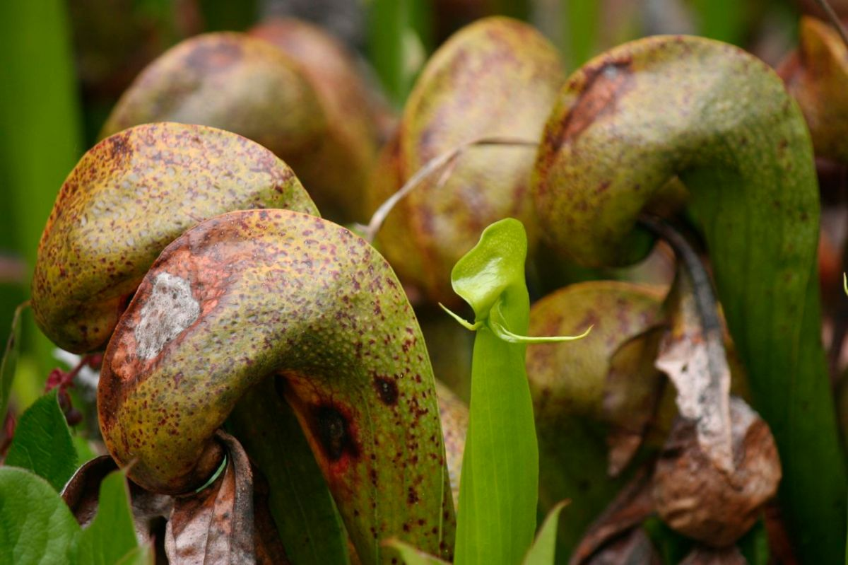 Cobra Lilydarlingtonia Californica Zoomeboshi