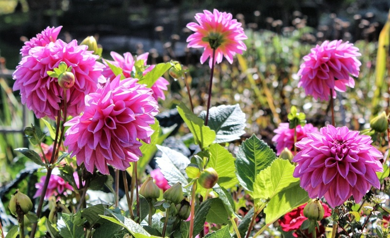 Dahlias in Trolley Hill Park P-patch