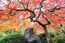 Japanese laceleaf maple, Portland Japanese Garden