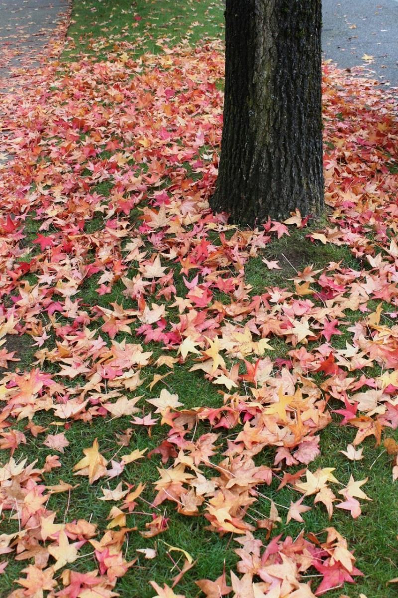 Fallen liquid amber leaves