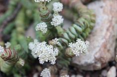 Crassula rupestris (Jade Necklace)