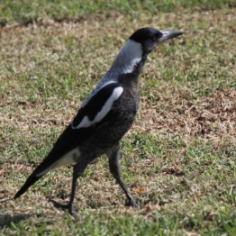 Australian magpies sing their beautiful songs all over Australia.