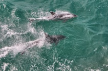 Bottlenose dolphins in Port Phillip