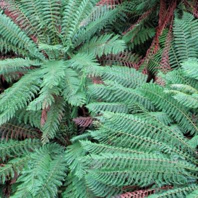 Tree fern tops seen from the Treetop Walk