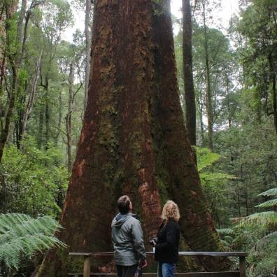 Myrtle beech tree