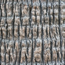 Cabbage-tree palm
