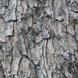 Red cedar