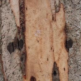 Karri (eucalyptus diversicolor)