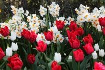 narcissus and tulip