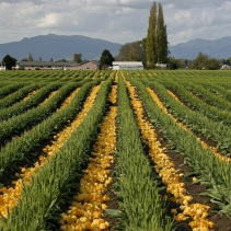 Workers had already removed the petals from tulip plants in several fields.