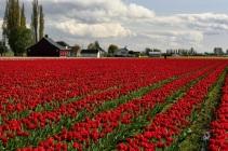 Apeldoorn Big tulips