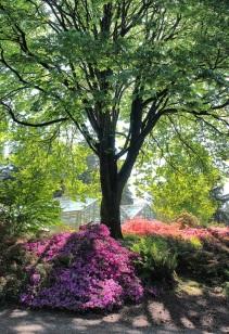 Azaleas under maple tree