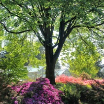 Azaleas under maple tree