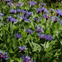Bachelor's button (Centaurea montana)