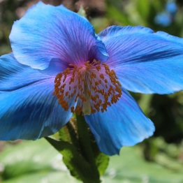 Himalayan Blue Poppy (Meconopsis lingholm)