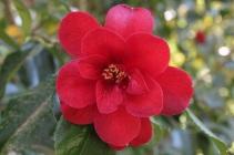 Camellia 'Nuccio's Scarlet'