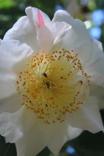 Camellia 'Scented Sun'