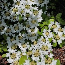 Double-file viburnum (Viburnum plicatum var. tomentosum)