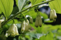 Giant Solomon's seal (Polygonatum biflorum)