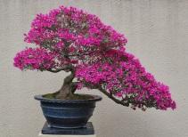 Kirishima azalea