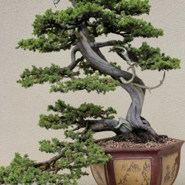 Formosan Juniper
