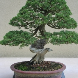 Kishu Juniper on San Jose Juniper