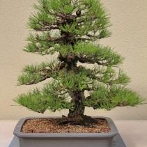 Cork Bark Japanese Black Pine