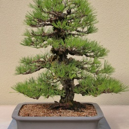Cork Bark Japanese Black Pine