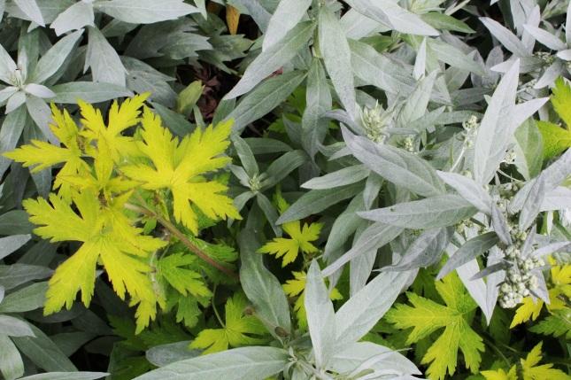 mugwort and geranium
